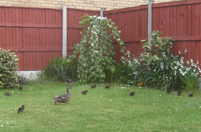 Joy's ducks 1