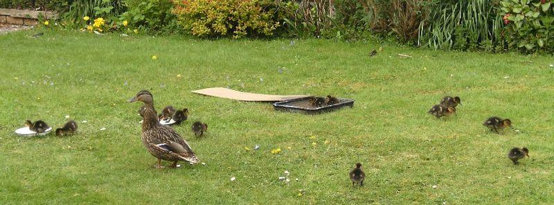 Joy's ducks 2